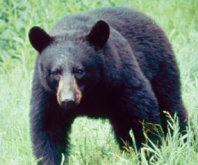 Black bears of the Smoky Mountains